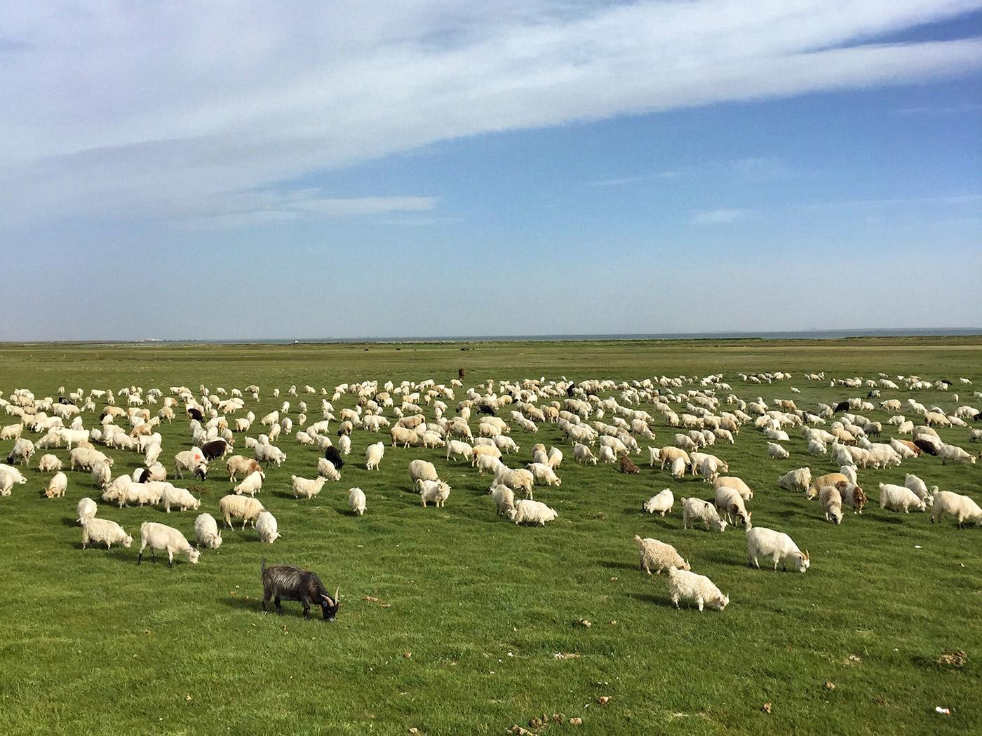 克鲁克湖旁的羊群