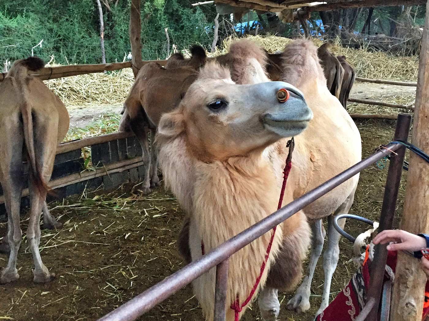 鸣沙山的骆驼