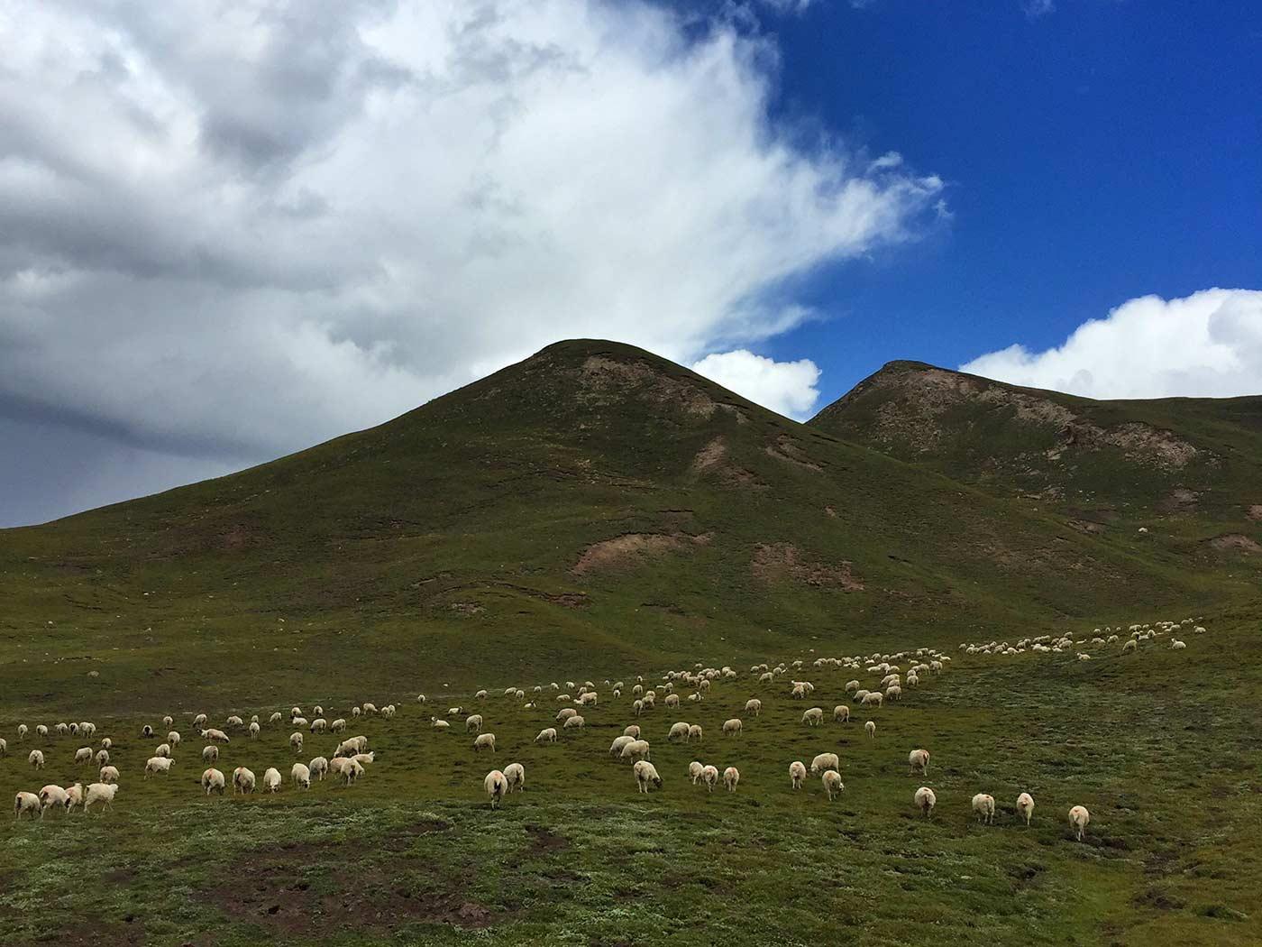 祁连山的羊群
